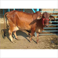 Original sahiwal Cow