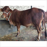 Sahiwal cow calf
