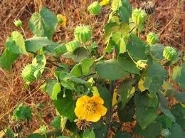 Abutilon indicum Dry Extract