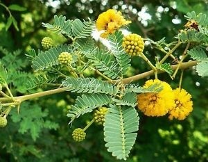 Acacia arebica Dry Extract