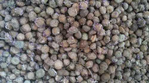 Akarkara Seed