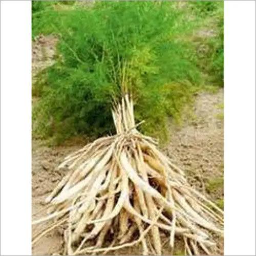 white Shatavari Roots