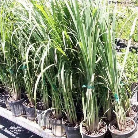 Lemongrass Plant