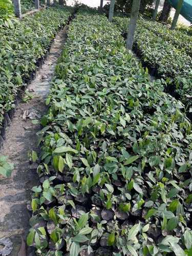 Tejpatta Plant