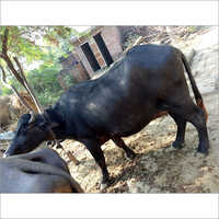 Black Dairy Buffalo
