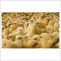 Cobb Broiler Chicks