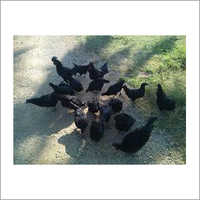 Black Breed  Chicken