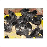 Poultry Farm Kadaknath Chicks