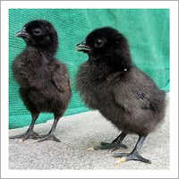 Organic Kadaknath Chicks