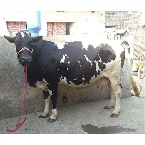 HF Jersey Cow