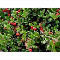 Bearberry Extracts
