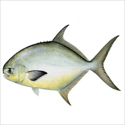 Pompano Fish