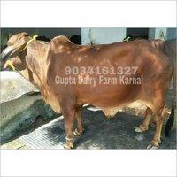 Sahiwal Milking Cow