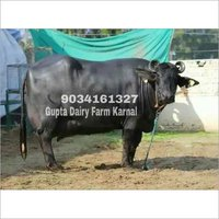 Murrah Buffalo Supplier in Karnal, Murrah Buffalo Trader
