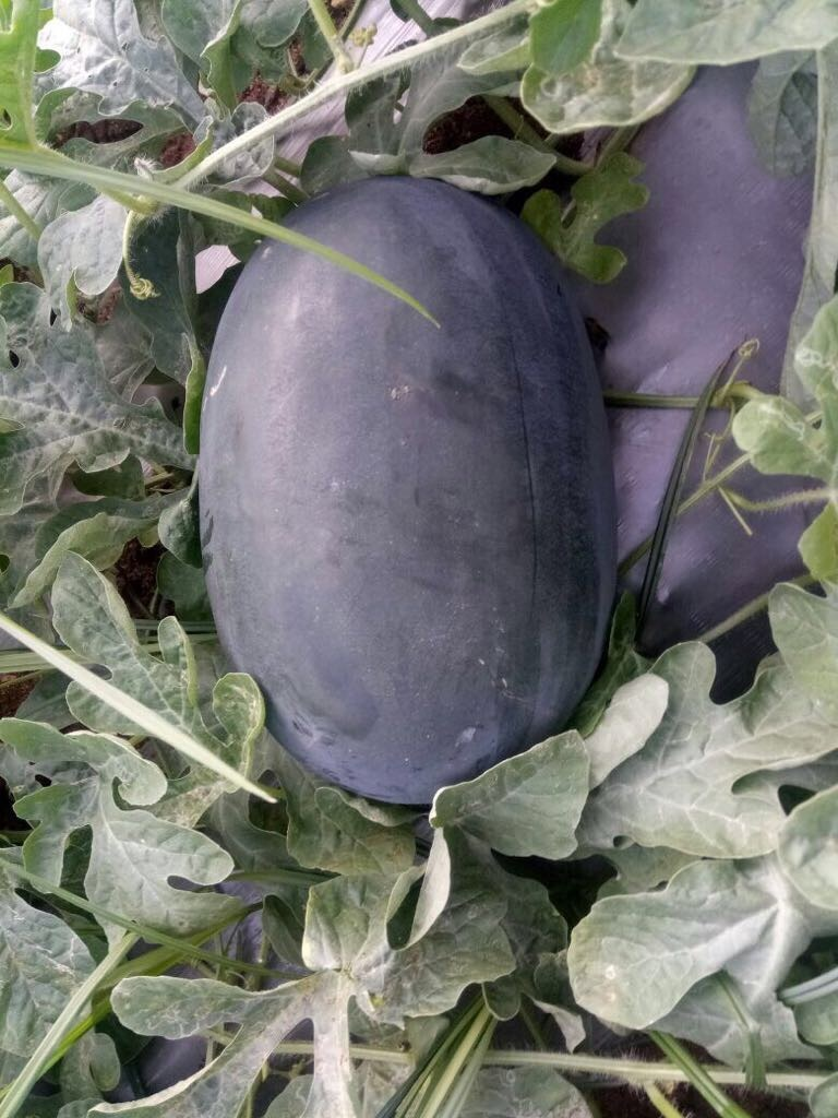 Water Melon Seeds - f1 creta ice box
