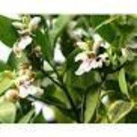 Adhatoda vasica Dry Extract