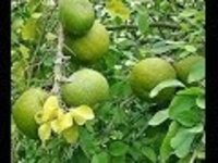 Aegle marmelos Dry Extract