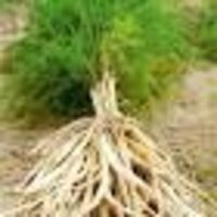 Asparagus racemosa Dry Extract