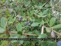 Berberis aristata Dry Extract