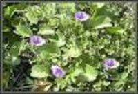 Boerhaavia diffusa Dry Extract