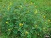 Cassia occidenalis Dry Extract