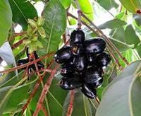 Eugenia jambolana Dry Extract