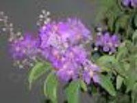 Legerstromea speciosa Dry Extract