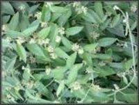 Leptadenia reticulata Dry Extract