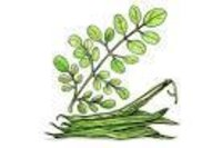 Moringa oleofera Dry Extract