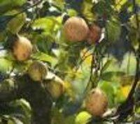 Myristica fragrance Dry Extract
