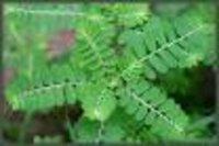 Phyllanthus niruri Dry Extract