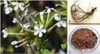 Plumbago zeylanica Dry Extract