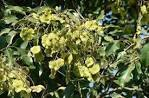 Pterocarpus marsupium Dry Extract