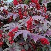 Ricinus communis Dry Extract