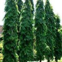 Saraca indica Dry Extract