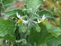 Solanum nigrum Dry Extract