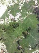 Solanum xanthocarpum Dry Extract