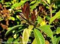 Symplocos racemosa Dry Extract