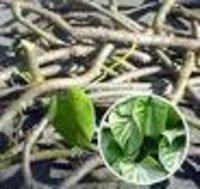 Tinospora cardifolia Dry Extract