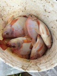 Red Tilapia (Monosex) Fish Seed
