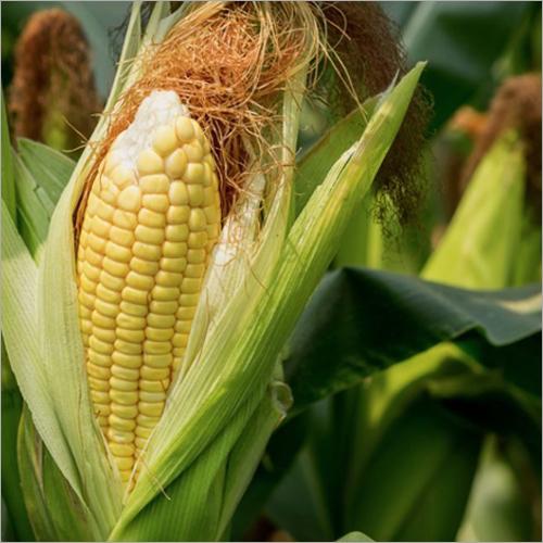 Organic Fresh Yellow Maize