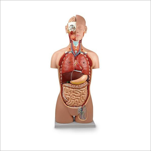 Human Anatomy Torso