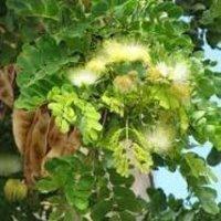 Albizia lebbeck Dry Extract