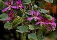 Bauhinia lvariegata Dry Extract