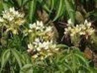 Crataeva nurvala Dry Extract