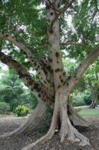 Ficus racemosa Dry Extract