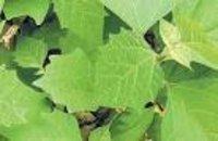 Gmelina Arborea Dry Extract