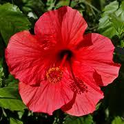 hibiscus rosa sinensis Dry Extract
