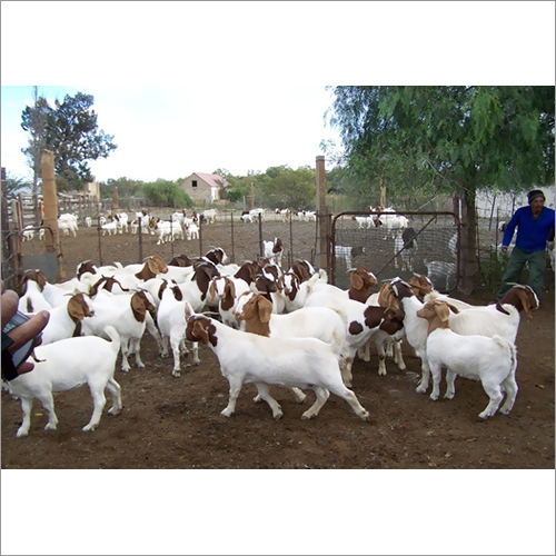 Boar Goats | Saanan Goats |Sheep | camels & milking Cows