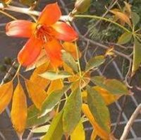 Salmalia malabarica Dry Extract
